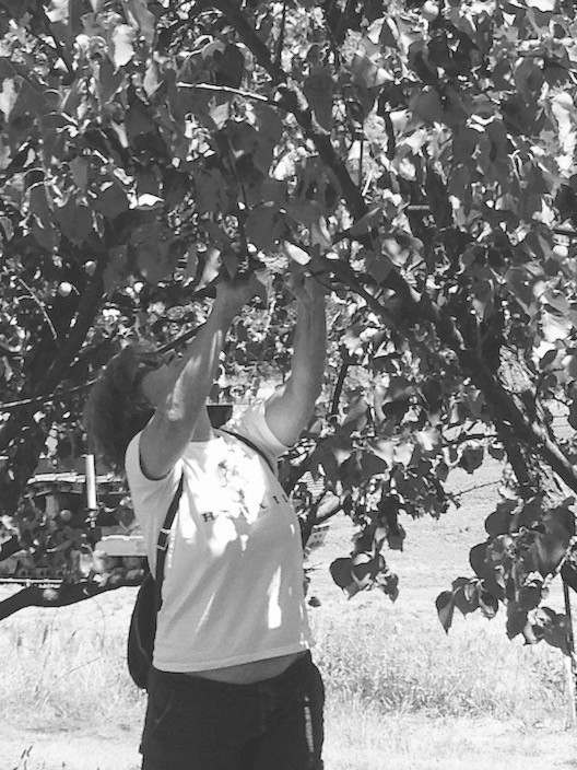 picking apricots